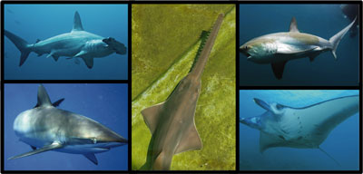 collage of shark species