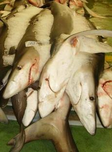 finned sharks